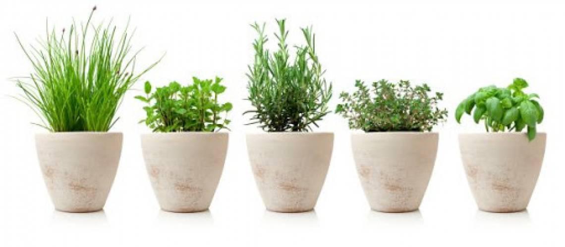 variaty of cooking herbs in pots